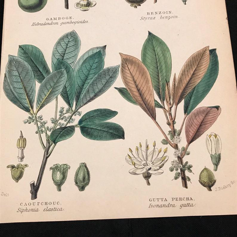 Gutta Percha Plant - 1855 Antique Print, Original Hand Colored 19th Century  Engraving, Botanical Print for Framing