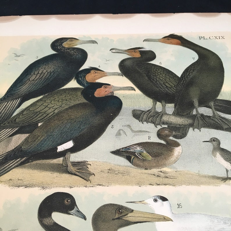 1881 Birds of North America Print Cormorants and Other Marine Birds Plate: CXIX Color Lithograph by Jasper