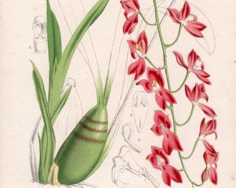 1869 Botanical Print, Orchid Illustration, Odontoglossum sanguineum, Mesospinidium, Antique Print, Vintage Lithograph, Botany Art Print