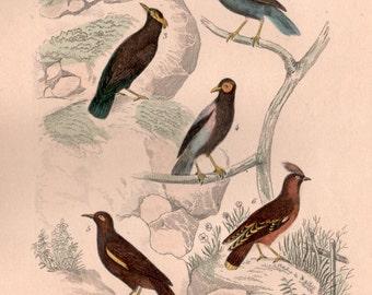 1835 Thrush Birds, Buffon Antique Print, Birds Engraving, Birds Illustration, Turdidae, Sturnidae, Bombycillidae, Myna, Waxwing, Turdus