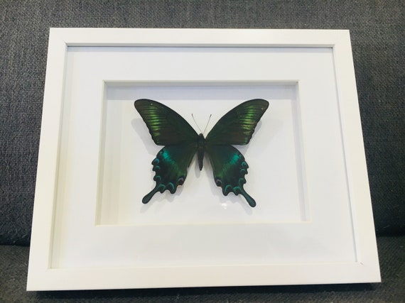 Black Papilio maackii Real Butterfly in wood Shadowbox Mount