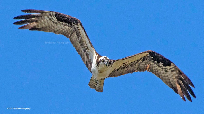 32ca6f14c8f Vol balbuzard pêcheur oiseaux avec des ailes vol doiseau