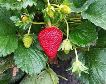 Everbearing Strawberry Plants w Runners Live Plant Bare Root Ready to Plant