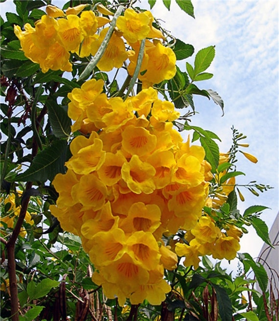 Tecoma stans yellow elder trumpet shrub bush sm tree 20 1500 seeds image 0 mightylinksfo
