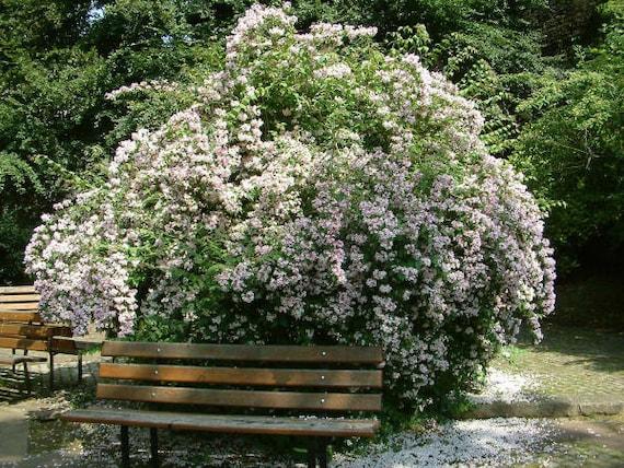 Kolkwitzia Amabilis 15//50//100 Seeds Cold Hardy Flowering Beauty Bush Shrub