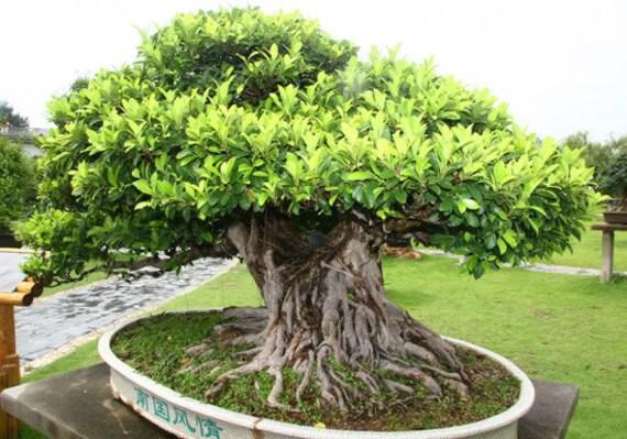 Albero Di Ficus Benghalensis 100 Semi Banyan Giardino Etsy