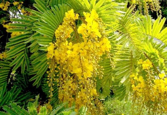 Peltophorum pterocarpum ferrugineum copper pod tree etsy image 0 mightylinksfo