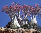 10 Mixed DESERT ROSE / ADENIUM Obesum African Houseplant Flower Seeds *Comb S/H photo