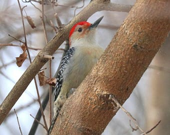 Red Bellied Woodpecker By Scott D Van Osdol Wildlife Photography Fine Art Print Indiana Winter Feeder Log Trees Branches Nature Outdoors