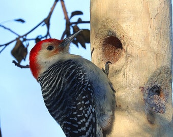 Close-Up Of A Red Bellied Woodpecker By Scott D Van Osdol Wildlife Photography Fine Art Print Indiana Winter Nature Outdoors Feeder Log