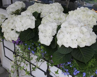White Hydrangea in a Flower Box in Carmel-by-the-Sea, California