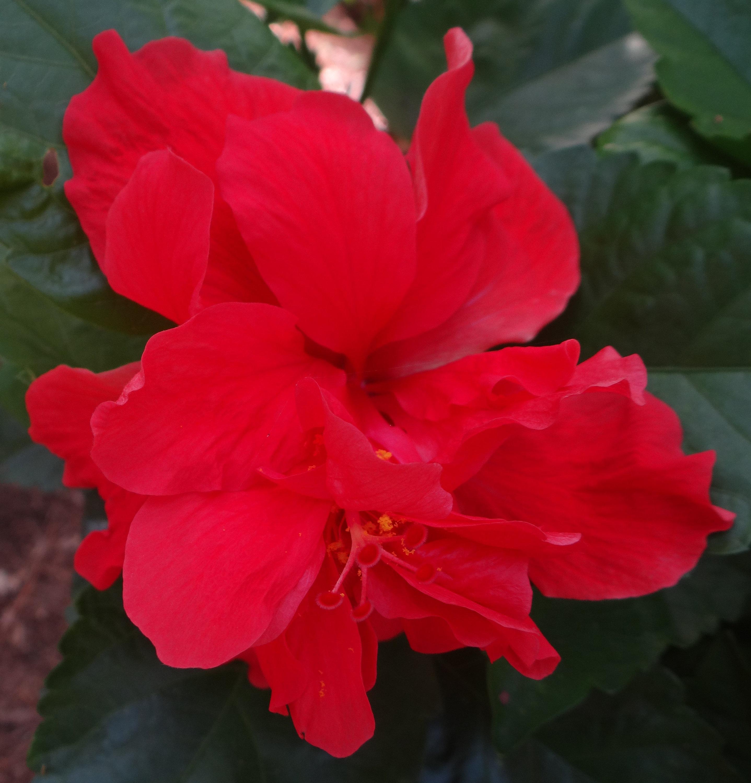 Tropical Hibiscus Celia Live Plants Rosa Sinensis Hawaiian Etsy