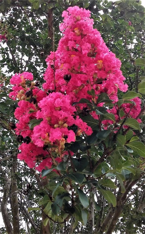 2 crepe myrtle trees dark pink flowers clusters fragrant large etsy mightylinksfo