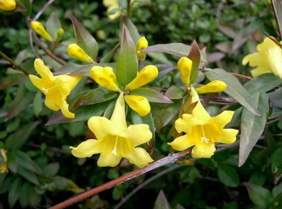 6 live plants yellow jasmine vines carolina jessamine fragrant etsy image 0 mightylinksfo