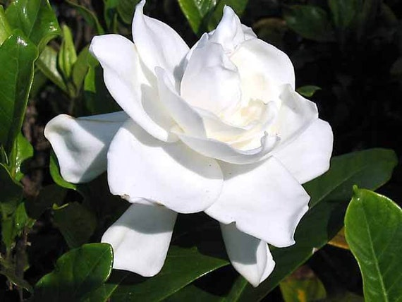 2 Heirloom Gardenia Cape Jasmine Fragrant Large White Flowers Etsy