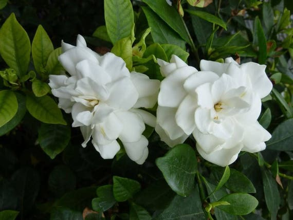 2 Cape Jasmine Gardenia Bushes Fragrant Large White Flowers Etsy