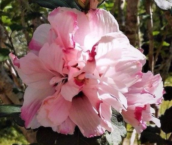 3 live plants rose of sharon hibiscus bush tree large double etsy image 0 mightylinksfo