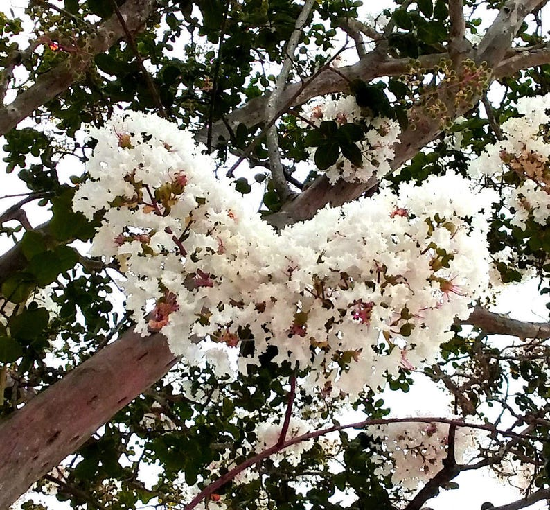 2 Crepe Myrtle Trees Snow White Flowers Fragrant Large Crape Etsy