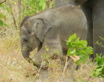 Elephant calendar: Trunk 'n Tails 2018 wall calendar of Sri Lankan elephants