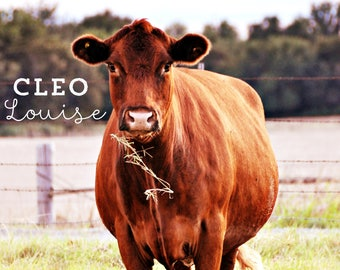 Cattle Photography, Cow Photography, Cow Pictures, Ruby the Red Heifer, Farm Photography, Modern Farmhouse, Modern Farmhouse Art