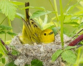 Free shipping! Yellow Warbler on nest. Adorable bird photo. Nature and wildlife fine art print. Nest building behavior. Gift or home decor.