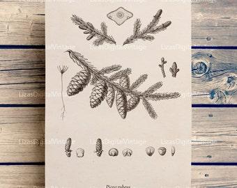 Botanical chart, Printable botanical, Spruce image, Conifer, Botanical illustration, Instant download print, Botanical, PNG JPG 300dpi #