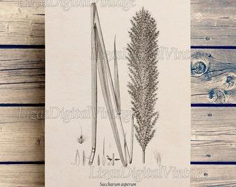 Sugar cane print, Botanical art, Instant download vintage print, Illustration, Sugarcane, Botanical digital print, 8x10, 11x14, A3 JPG PNG