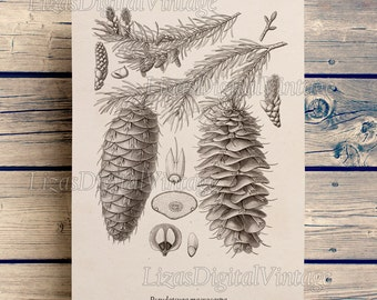 Art print, Download print, Douglas fir, Illustration, Wall art vintage, Conifers, Douglas tree, Tree wall decor, Tree print, JPG PNG #