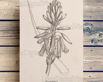 Digital print, Aloe image, Printable graphics, Antique image, Vintage Botanical Print, Succulent clip art, Download print, PNG JPG 300dpi