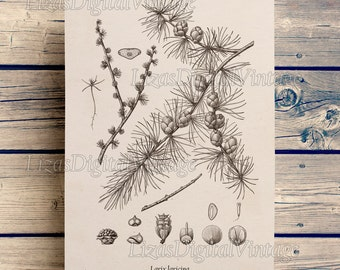 Larch, Vintage conifer prints, Tamarack, Vintage tree print, Larch tree, Antique botanical illustration, Printable graphics, JPG PNG #