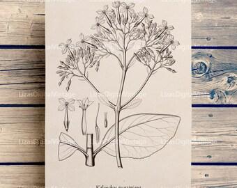 Botanical, Floral wall art, Succulent art, Succulent printable, Antique wall art, Vintage print, Succulent print, Kalanchoe, PNG JPG 300dpi