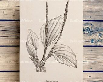 Botanical art, Printable vintage graphics, Botanical print, Printable decor, Vintage pictures, Printable plantain image, PNG JPG 300dpi