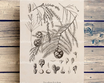 Vintage botanical prints, Botanical printable, Botanical chart, Cypress, Bald cypress, Conifer print, Botanical clip art, PNG JPG #