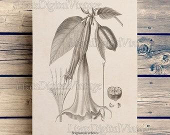 Datura print, Instant download vintage floral print, Brugmansia, Angels Trumpet, Printable botanical art, Antique flower print, JPG, PNG