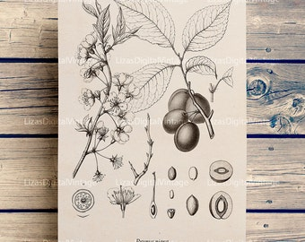 Botanical print, Large prints, Botanical chart, Botanical printable plum image, Instant download print, Plum tree A3, 8x10, 11x14, PNG JPG