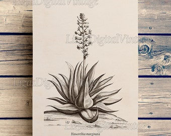 Haworthia, Haworthia print, Succulent wall art, Botanical illustration, Antique succulent print, Wall art vintage, Printable 8x10, 11x14, A3