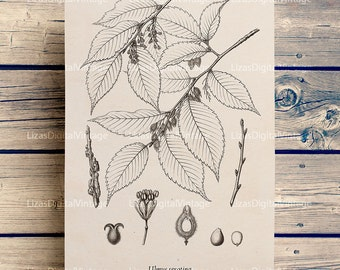 Illustration, Tree art, Graphics, Printable downloads, Elm tree, Antique art, Print vintage, Botanical digital images, Tree wall art JPG PNG