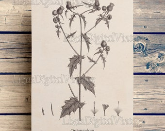 Art print, Thistle print, Printable art, Antique botanical print, Illustration, Digital vintage prints, Wall art vintage, Download, JPG PNG