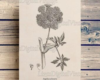 Angelica print, Botanical printable art, Vintage printable print, Antique botanical, Instant download print, Home wall art print, JPG, PNG