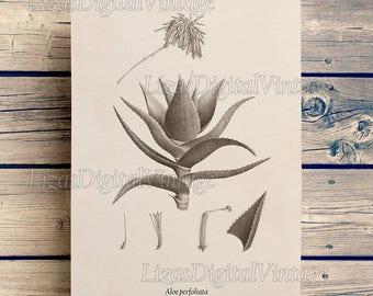 Vintage Aloe print, Succulent wall art, Antique succulent print, Digital download, Antique botanical print, Botanical chart, 8x10, 11x14, A3