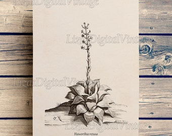Illustration, Digital print, Botanical succulent print, Print Vintage, Succulent art, Haworthia, Botanical wall art, 8x10, 11x14, A3 JPG PNG