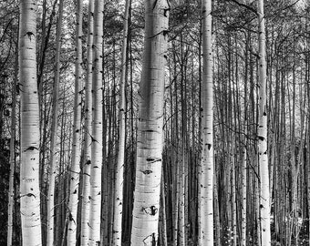 Tree Photography, Aspen Tree Wall Art, Colorado Photography, Aspen Trees, Aspen Tree Art Print, Nature Photography, Black and White Aspens