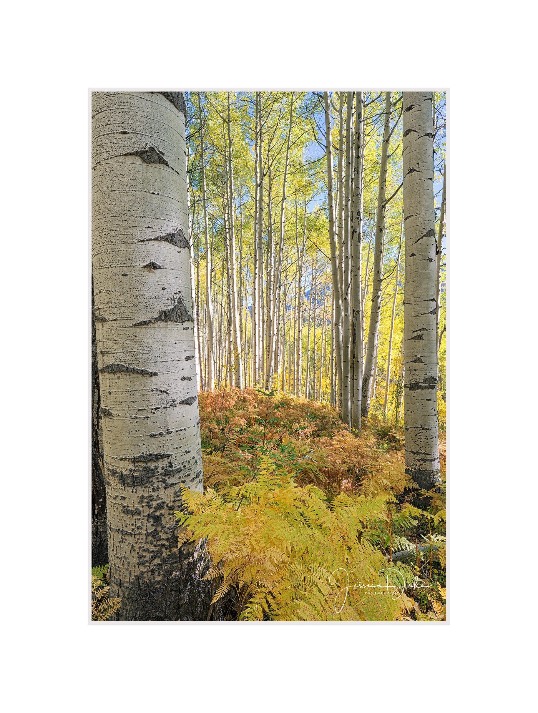 Aspen Trees Tree Photography Aspen Trees Wall Art Aspen | Etsy