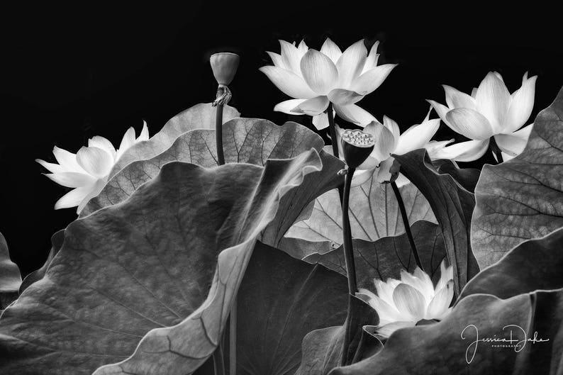 Lotus Flower Photography Lotus Flower Prints Nature Etsy