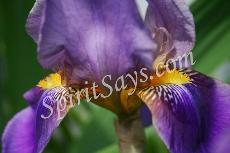 Arwen's Robes  Iris Photo Notecard Photo Greeting Card image 0