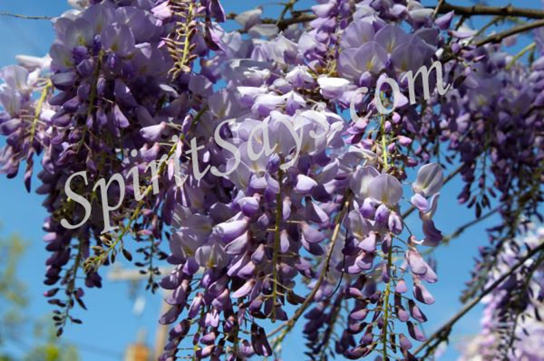 Wisteria Sky  Wisteria Photo Notecard Photo Greeting Card image 0