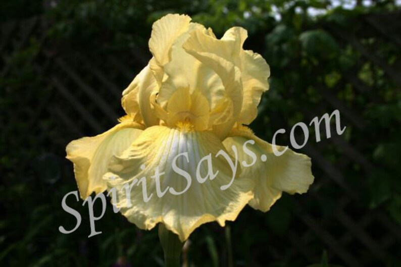 Summer Gown  Iris Photo Notecard Photo Greeting Card Blank image 0