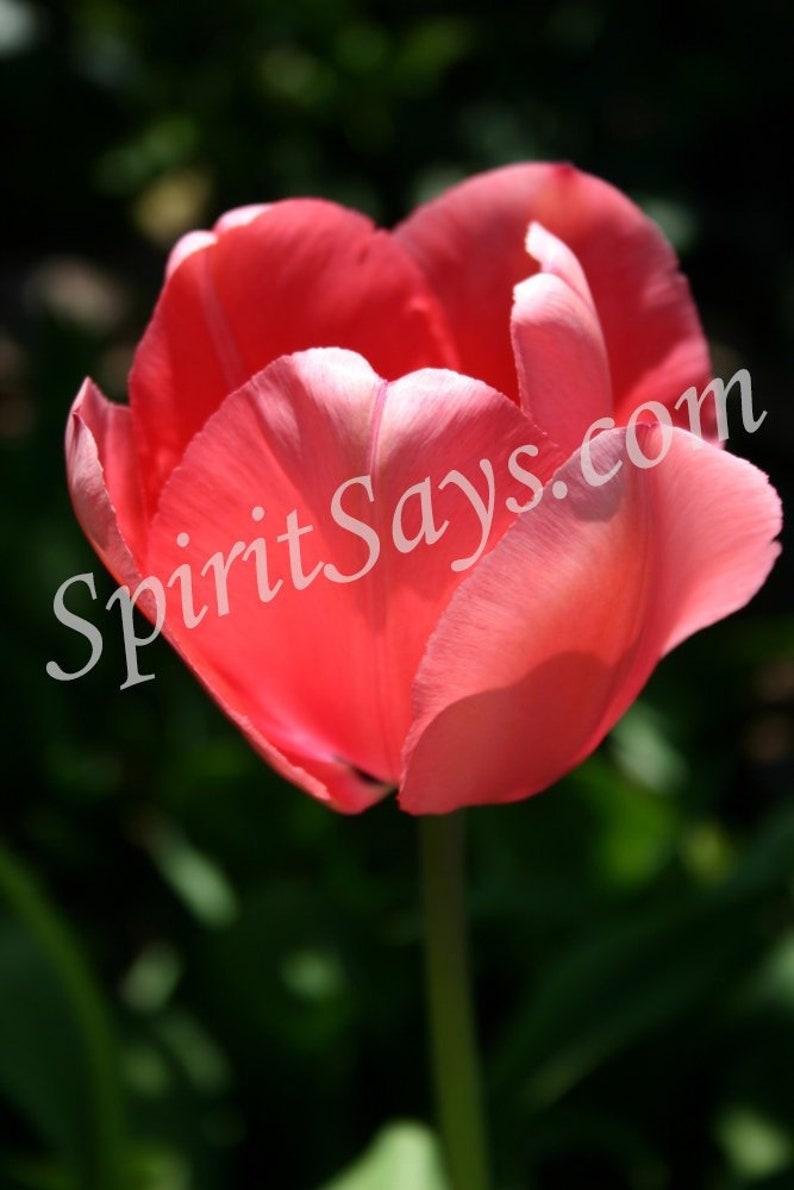 Clarity  Tulip Photo Notecard Photo Greeting Card Blank image 0