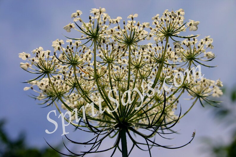 Titania's Crown  Queen Anne's Lace Photo Notecard image 0
