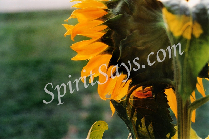 Day Rising  Sunflower Photo Notecard Photo Greeting Card image 0
